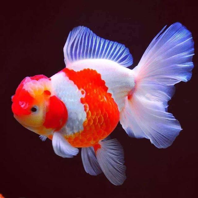 金鱼的哪些品种适合于新手饲养?